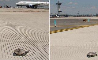turtles at airport